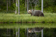 Brown Bear – Reflection