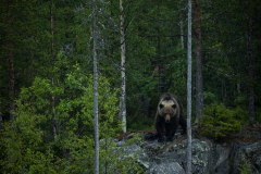 Brown Bear – On boulders