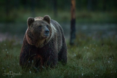 Brown Bear – Looking at the night sky
