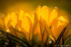Gul krokus i solen
