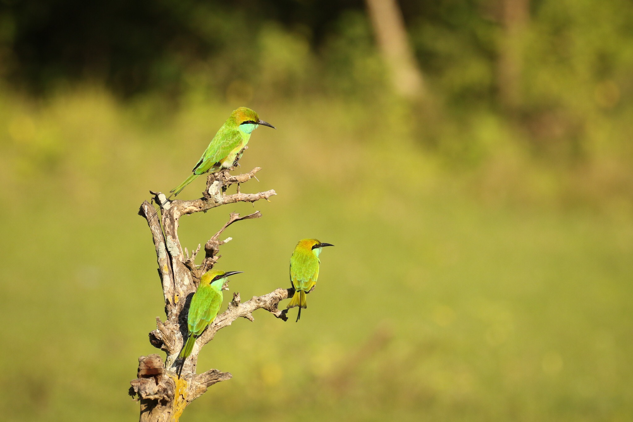 Lille grøn biæder