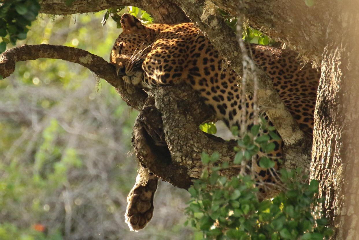 sovende leopard