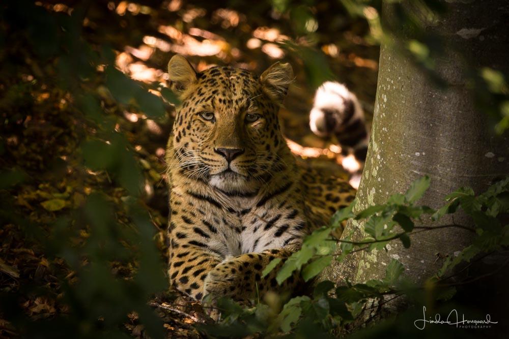 Nordkinesisk Leopard